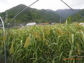 2007.8. 23  中川農園甲州トウモロコシの味 032.jpg
