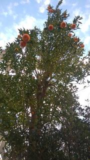 ポンカンの木IMG_20200204_073615.jpg