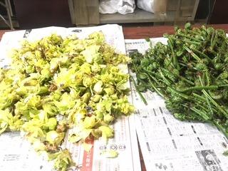 刈屋山菜ふきのとう.JPG