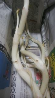 最後三島独活.jpg