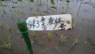 農林1号.jpg