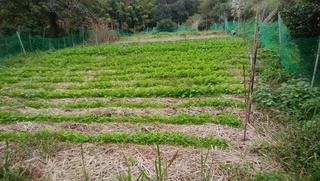 1冬葉物畑.jpg