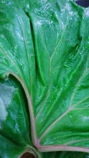 4月7日蕗の葉を茹でました。.jpg